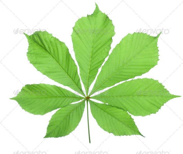 Single horse chestnut leaf - Stock Photo - Images