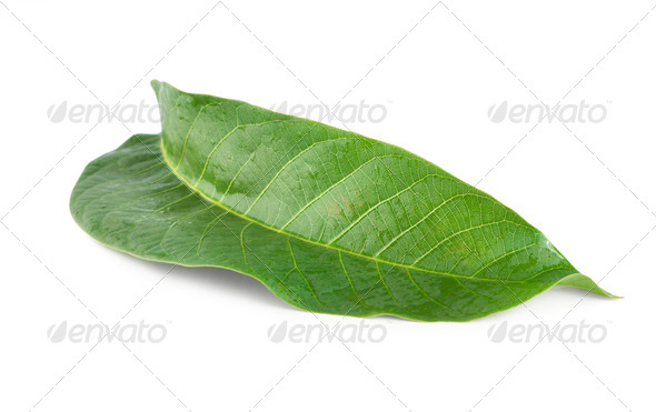Walnut leaf - Stock Photo - Images
