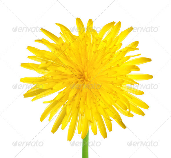 Dandelion close up - Stock Photo - Images