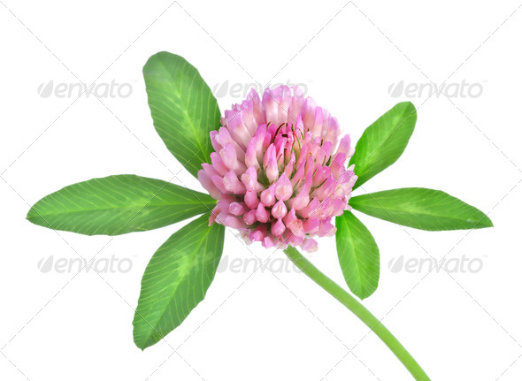 Red clover isolated - Stock Photo - Images