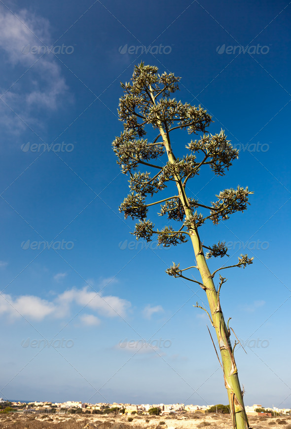 Agave plant - Stock Photo - Images