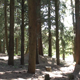 Forest of Cypress Trees - VideoHive Item for Sale
