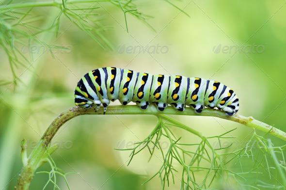 Swallowtail Caterpillar - Stock Photo - Images