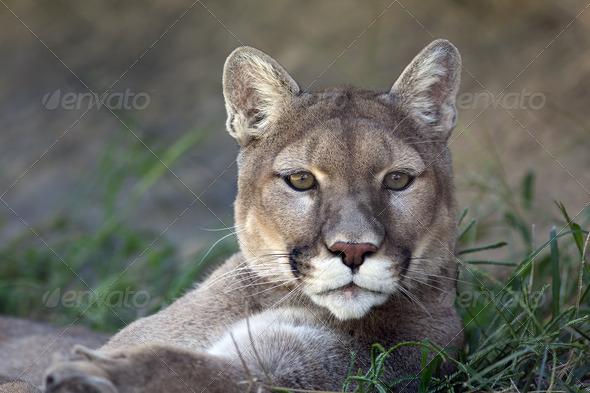 Mountain Lion - Stock Photo - Images