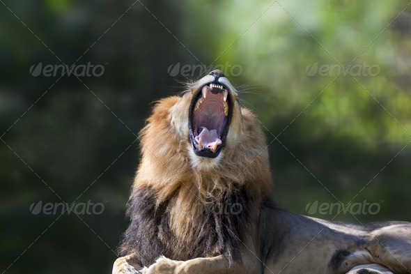 King of the Jungle - Stock Photo - Images