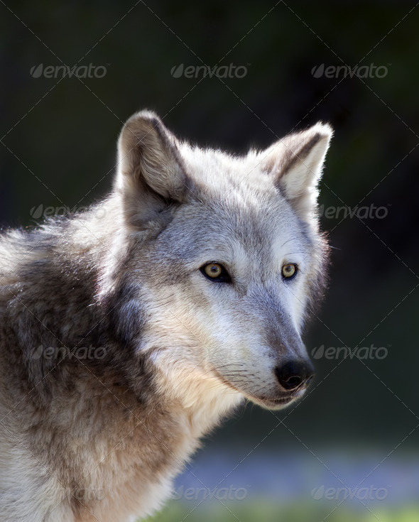Gray Wolf - Stock Photo - Images