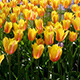Tulip Flowers in Keukenhof Garden, Holland - VideoHive Item for Sale