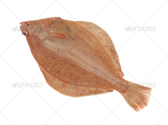 Dab Fish - Stock Photo - Images