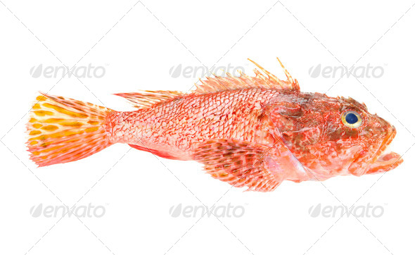 Red Scorpionfish prepared seafood isolated on white background - Stock Photo - Images