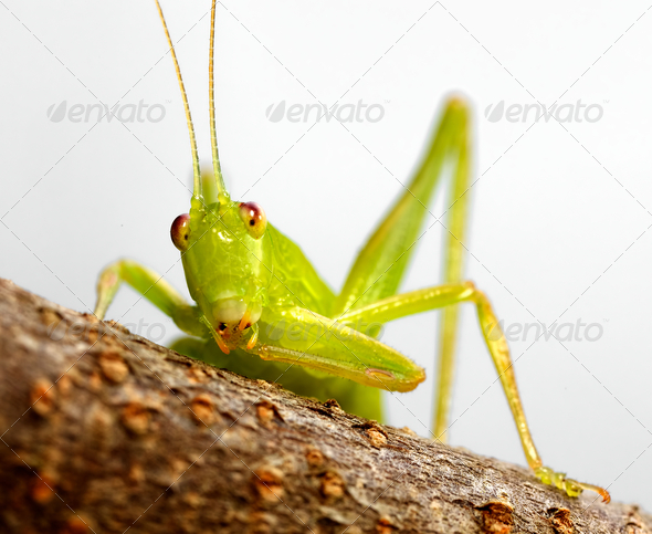 katydid preening - Stock Photo - Images