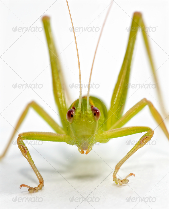 Katydid frontal - Stock Photo - Images