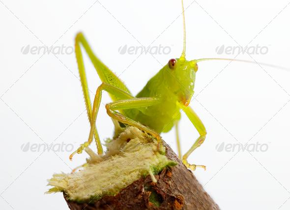 Katydid on twig - Stock Photo - Images