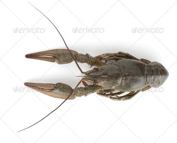 Crayfish - Stock Photo - Images