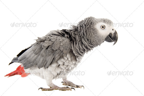 scaring African Grey Parrot - Stock Photo - Images