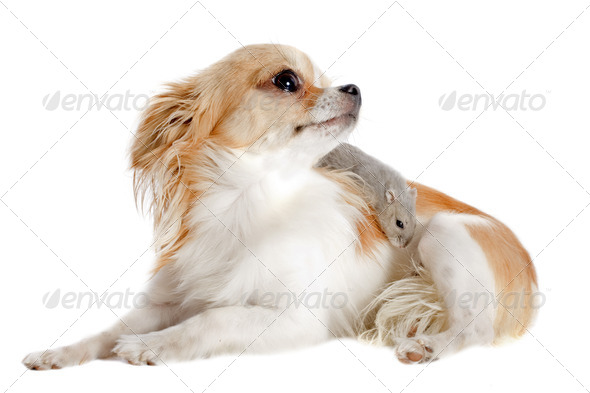 chihuahua and Djungarian hamster - Stock Photo - Images