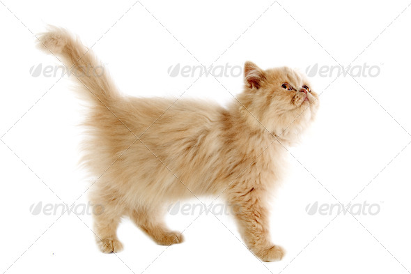 persian kitten - Stock Photo - Images