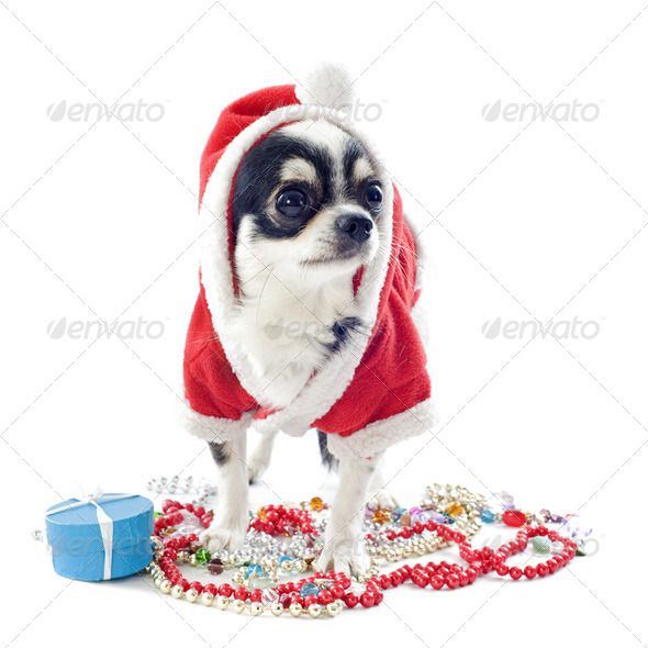 Santa claus chihuahua - Stock Photo - Images