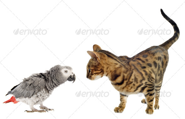 scaring Parrot and cat - Stock Photo - Images