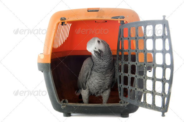 African Grey Parrot in kennel - Stock Photo - Images