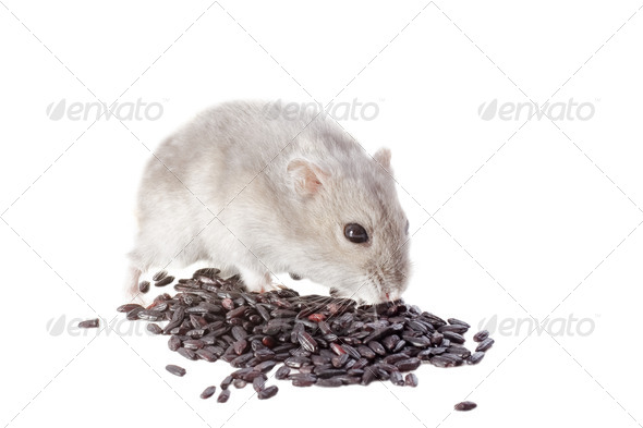 Djungarian mouse - Stock Photo - Images