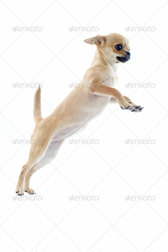 jumping puppy chihuahua - Stock Photo - Images