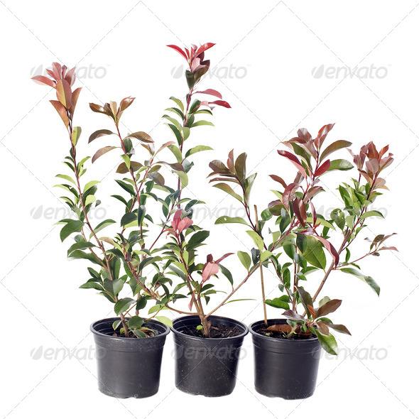 japanese photinia - Stock Photo - Images