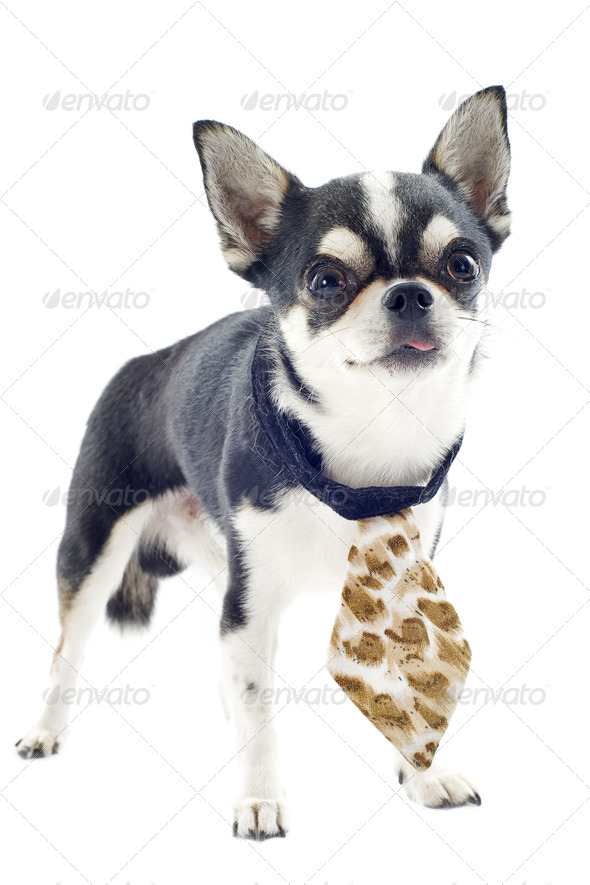 chihuahua with tie - Stock Photo - Images
