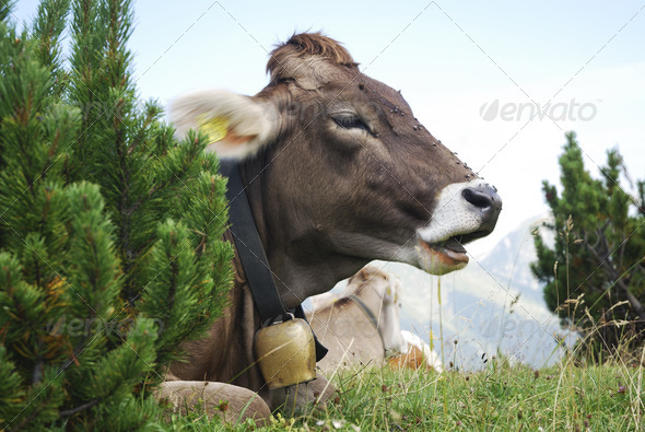 Cow With Cowbell - Stock Photo - Images
