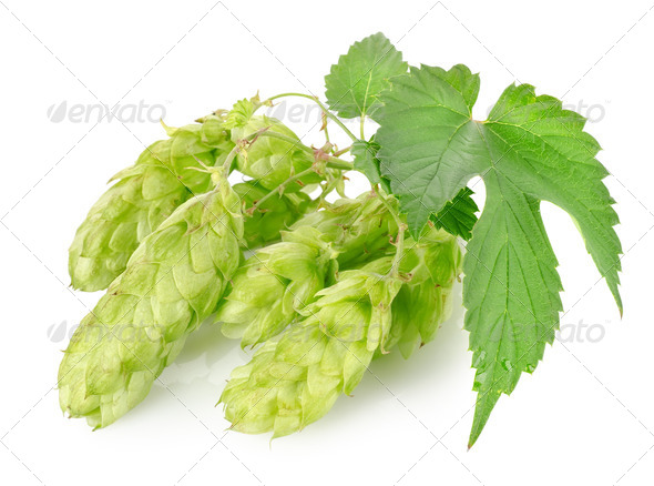 Cluster of hops - Stock Photo - Images