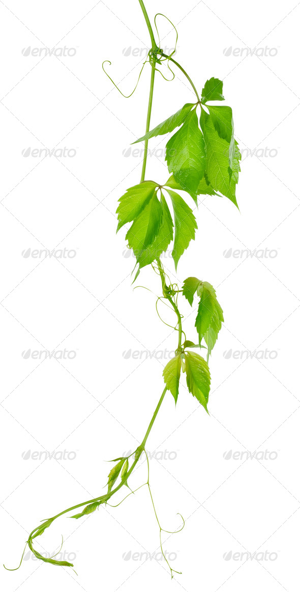 Grape vine leaves - Stock Photo - Images