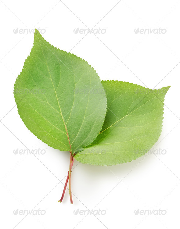 Leaves apricots - Stock Photo - Images