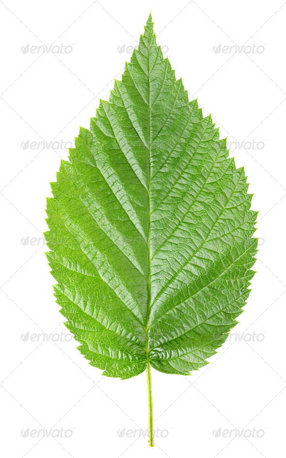 Raspberry leaves - Stock Photo - Images