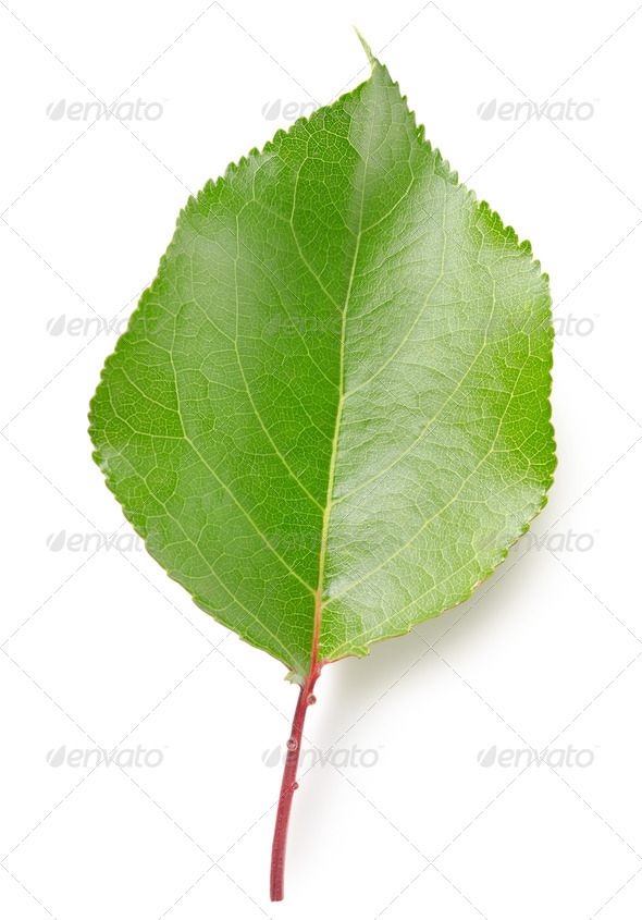 Leaf apricots - Stock Photo - Images
