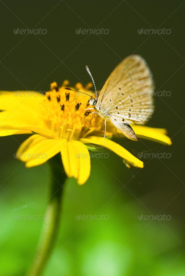 Little Butterfly on Yellow Flower - Stock Photo - Images