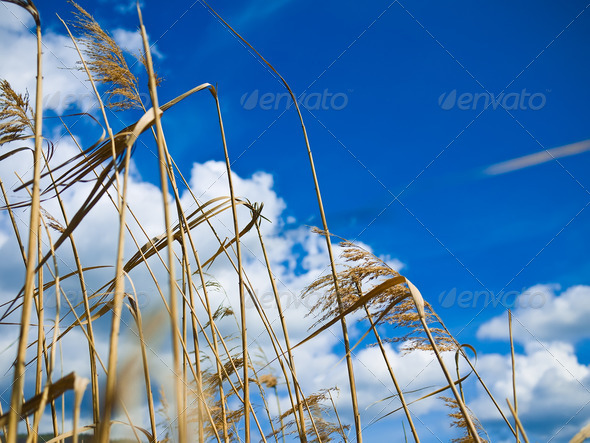 Dry grass over blue sky - Stock Photo - Images