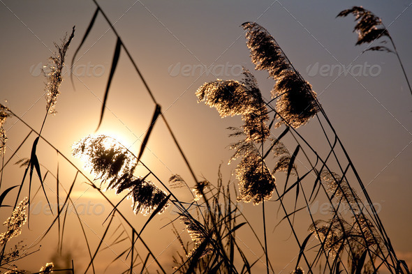 cattail plants in back-light - Stock Photo - Images