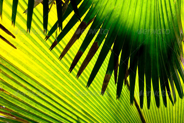 Detail of a leaf of palm trees, Seychelles - Stock Photo - Images
