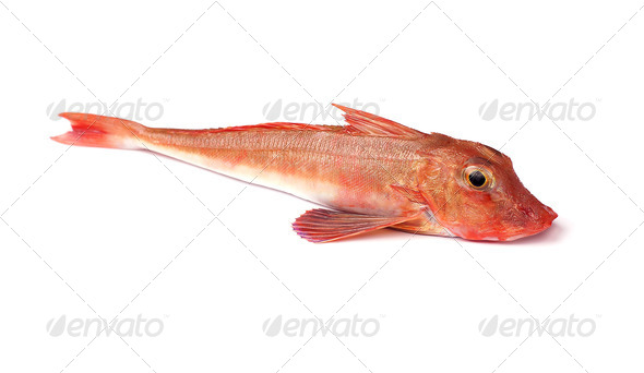 Red Gurnard Fish - Stock Photo - Images