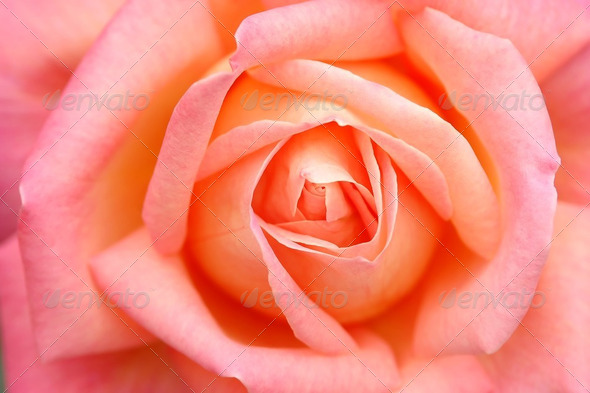 rose close up - Stock Photo - Images