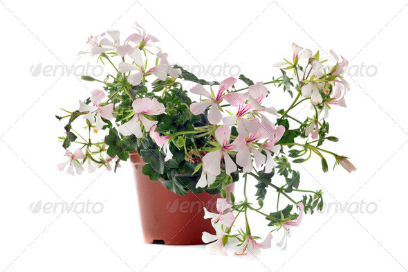 hanging geraniums - Stock Photo - Images