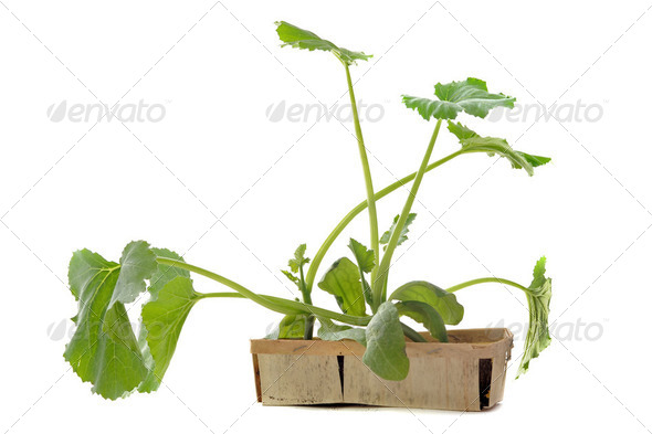 zucchini seedling - Stock Photo - Images