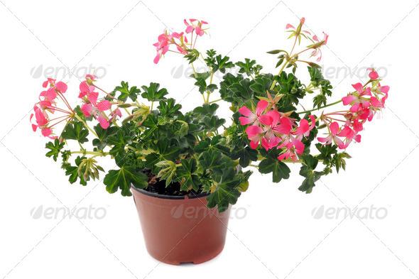 hanging geraniums - Stock Photo - Images