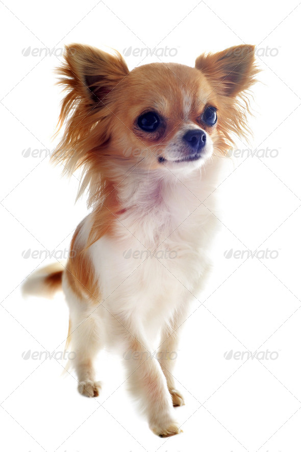 walking chihuahua - Stock Photo - Images