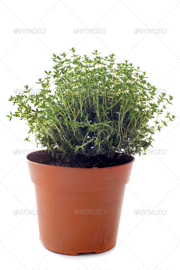 thyme in pot isolated - Stock Photo - Images