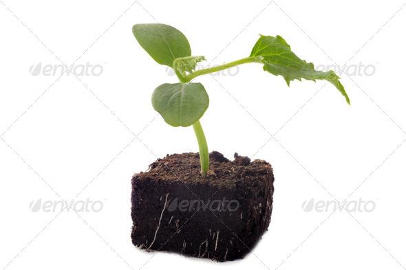 cucumber seedling - Stock Photo - Images