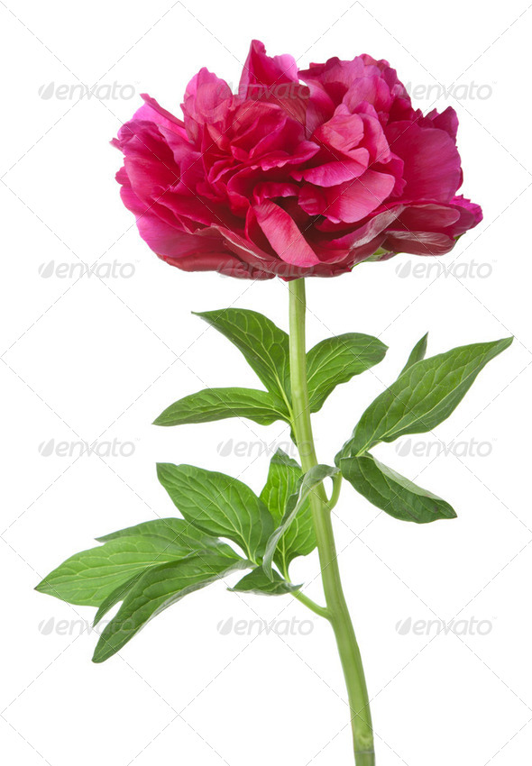 red peony flower isolated - Stock Photo - Images
