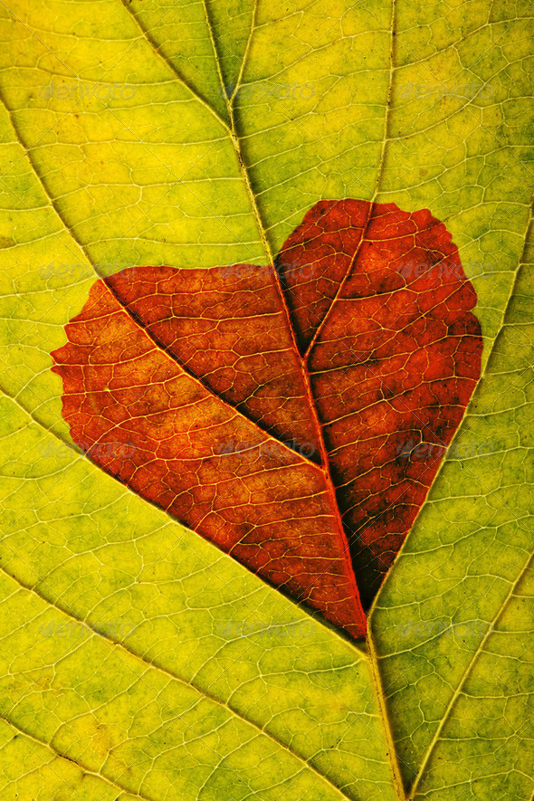 autumn leaf with heart - Stock Photo - Images