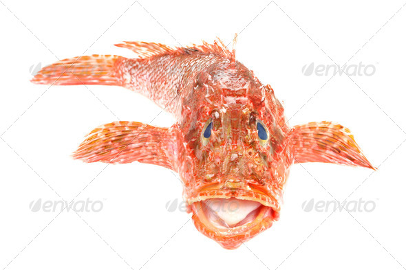 Red Scorpionfish seafood isolated on white background. Front view. - Stock Photo - Images