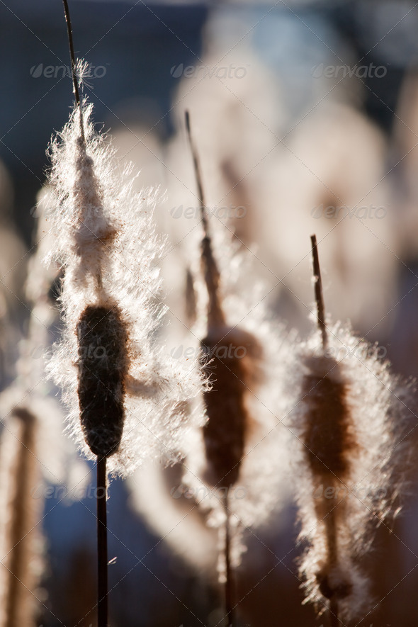 Cattails - Stock Photo - Images