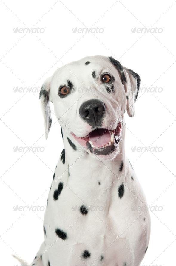 Dalmatian dog - Stock Photo - Images